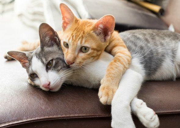 5 Mitos de comportamiento comunes del gato desacreditado