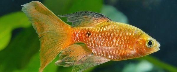 Anestesia en el pescado