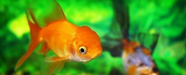 La elección de un pez de colores