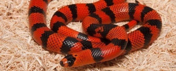 La elección de una serpiente de leche de Honduras