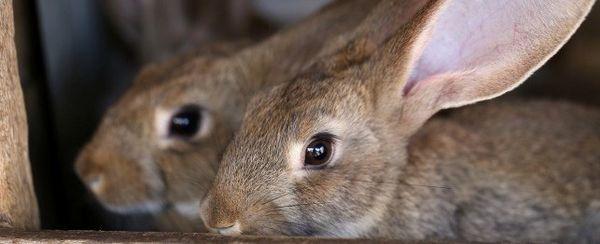 Secreción del oído de los mamíferos pequeños