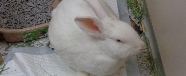 Hinchazón gástrica en conejos
