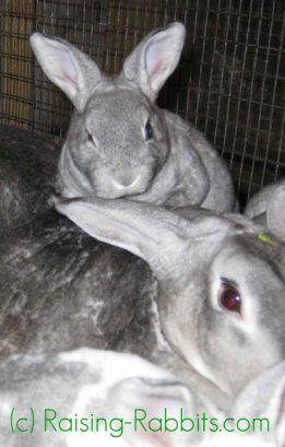 La cría de conejos bebé