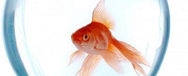 Los peces de colores y el guisante