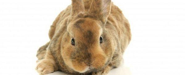 El entrenamiento de su conejo para usar la caja de arena